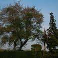 桜と杉の木 その2