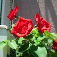 ベランダのバラその2