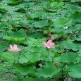 生実池の蓮 その2