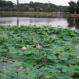 生実池の蓮 その3