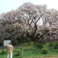 吉高の大桜 その1