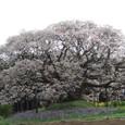 吉高の大桜 その2