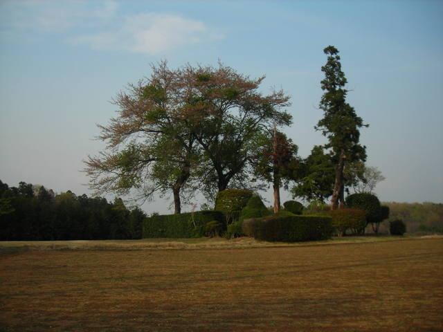 桜と杉の木 その1