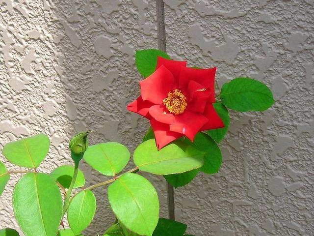 ベランダのバラその1