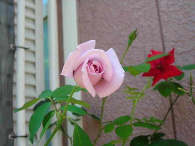 ベランダのバラその3
