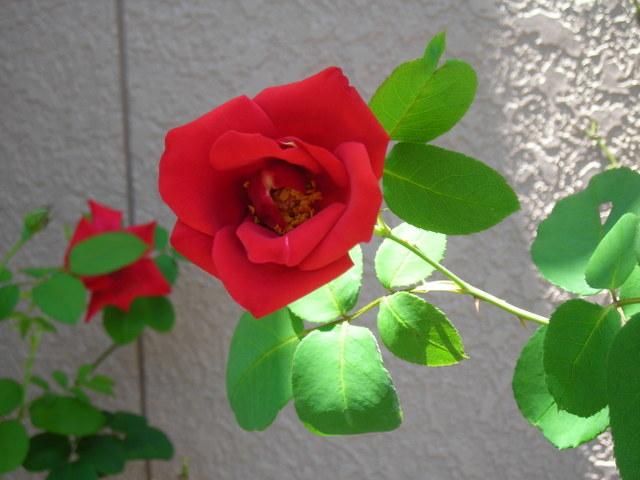ベランダのバラその4