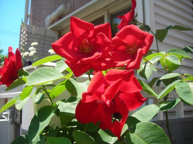 ベランダのバラその5