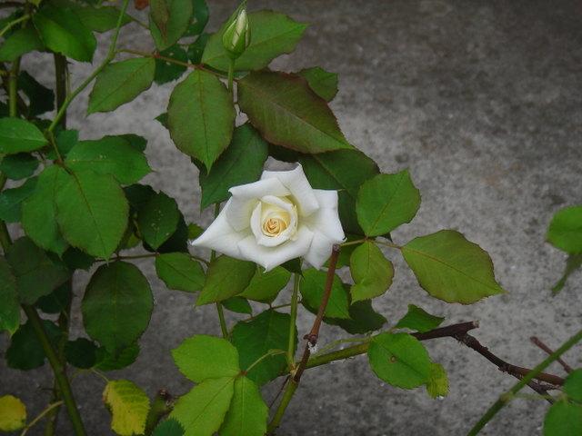今朝咲いたバラ