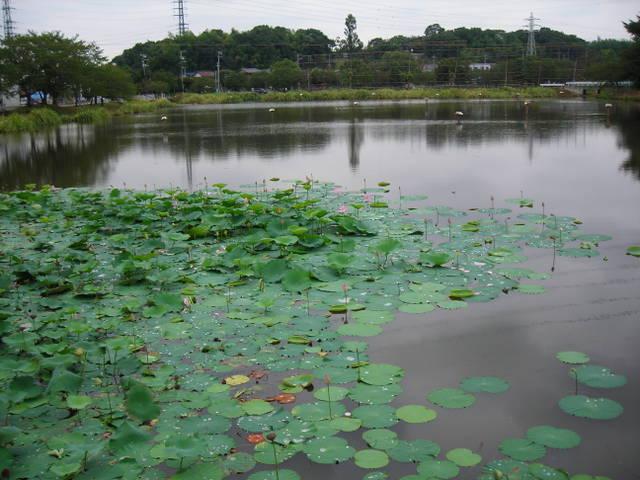 生実池の蓮 その1