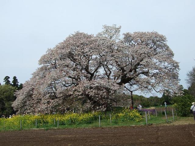 吉高の大桜 その3